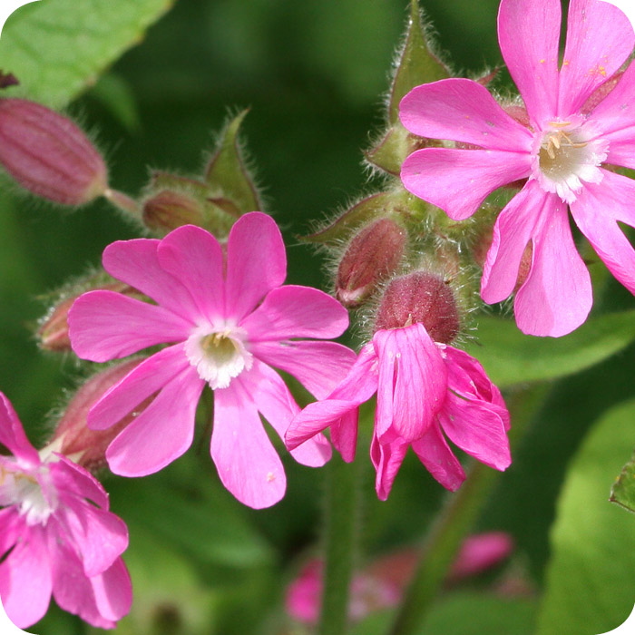 Red Campion (Silene dioica) plug plants
